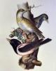 iconografia della fauna italica per le quattro classi degli animali vertebrati   carlo luciano bonaparte principe di canino